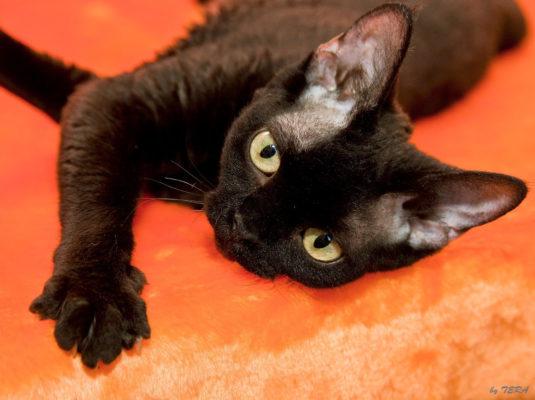 Кошка NIKA BLACK. Питомник девон рексов Elsweyr