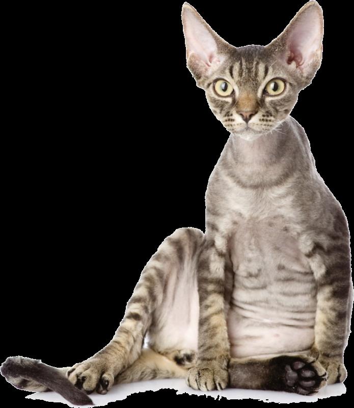 Кошки девон рекс в Ижевске