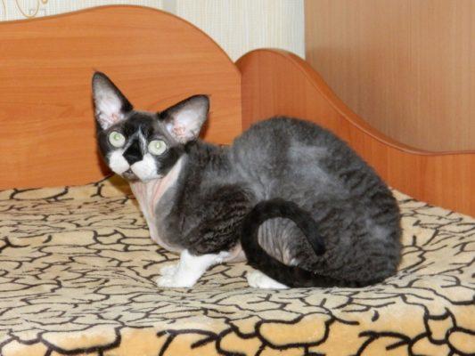 LV* EDEMLEN CHINGIZ - кот производитель питомника